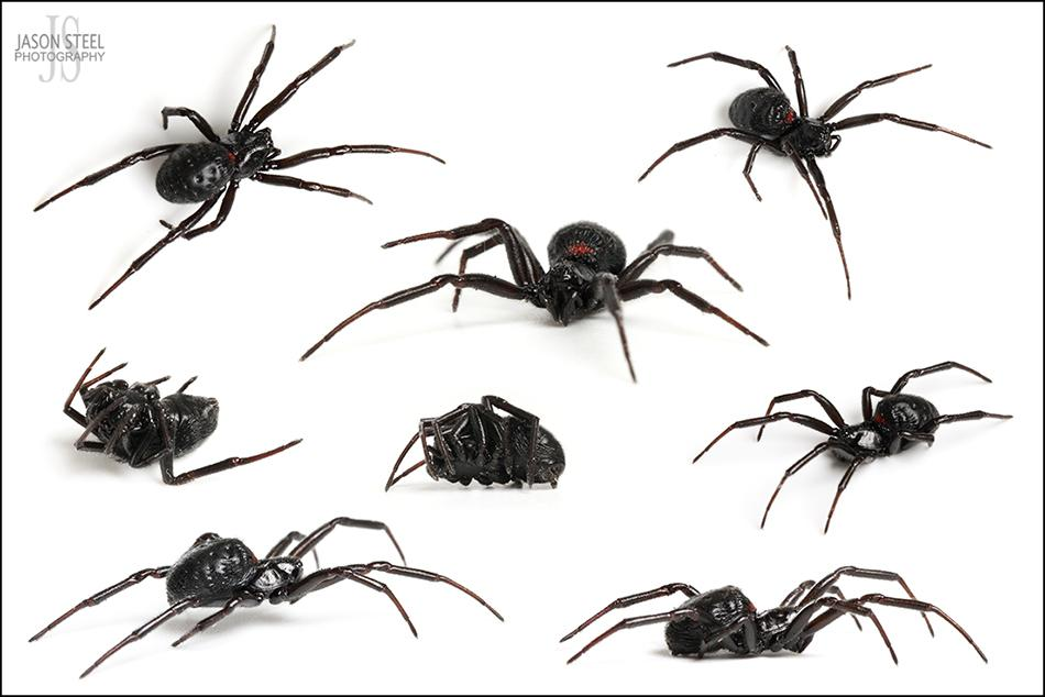False Widow Spiders Of The Uk