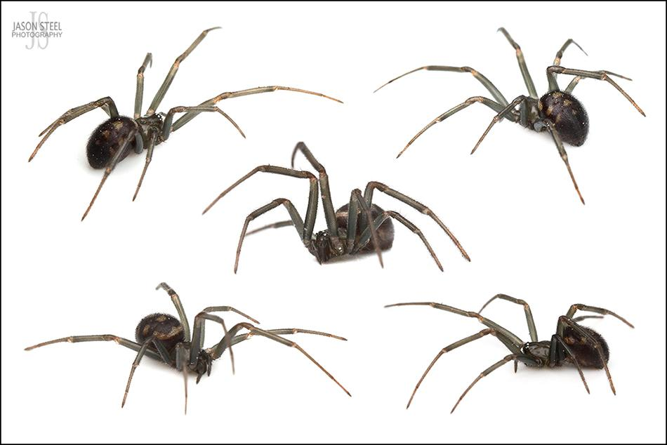 7ebdac3ac Males usually die after mating. The most distinguishing feature of Steatoda  grossa are the three triangular or chevron markings on the top of the  abdomen.