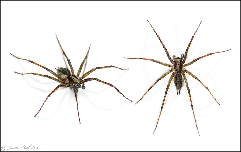 Common Names Came Be Confusing As The Name Cellar Spider Is Sometimes Also Used For Both False Widow Steatoda Grossa And Web