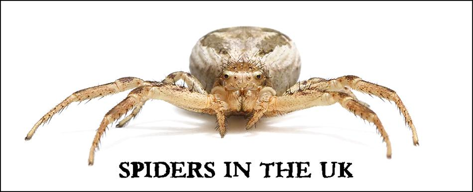 There Are Around 650 700 Known Species Of Spider In The Uk Many These So Similar Earance That They Can Only Be Accurately Identified Under A